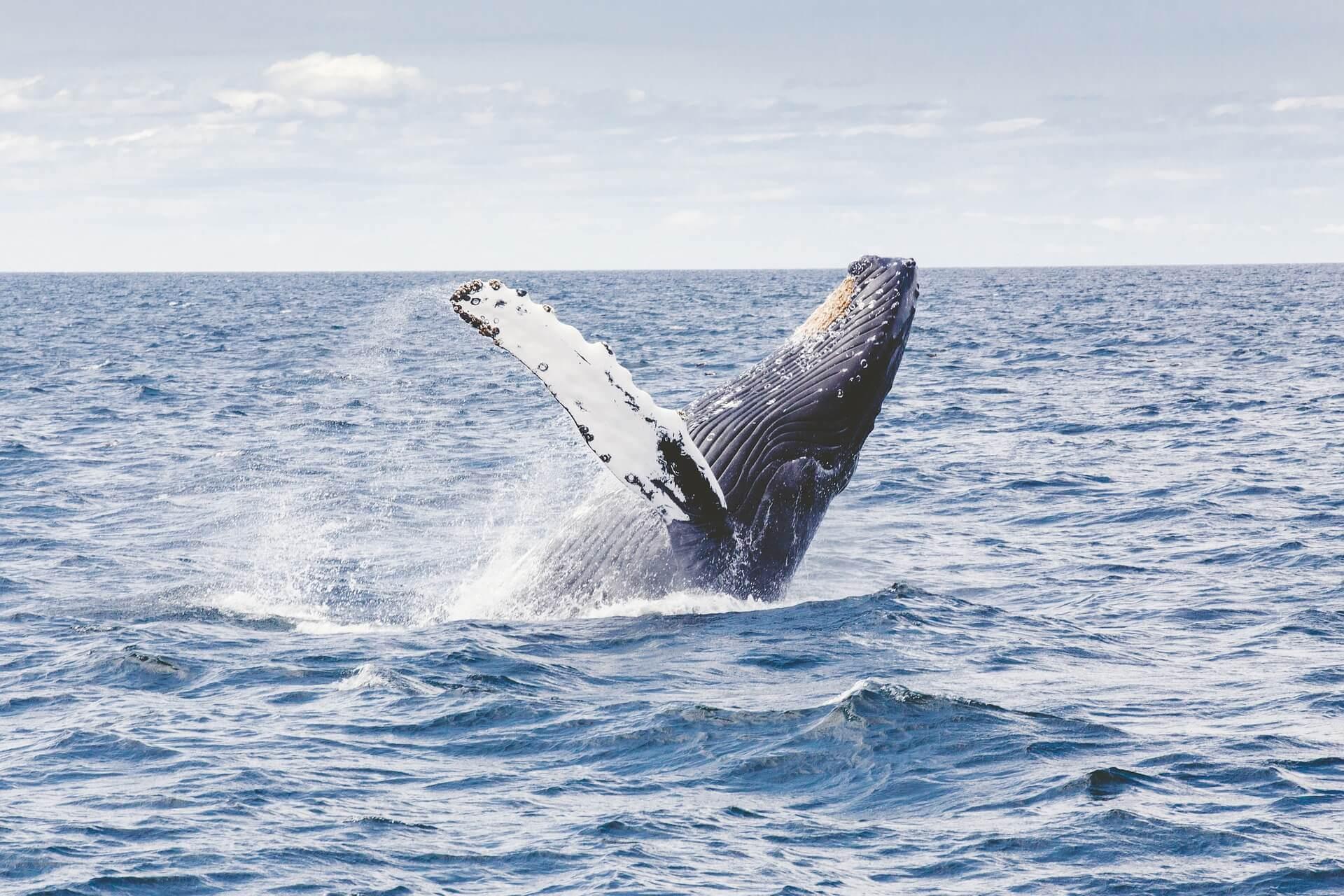 Walfang Japan Norwegen Island