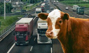 Kälber von Österreich bis in den Iran transportiert - Unnötige Tiertransporte müssen gestoppt werden!