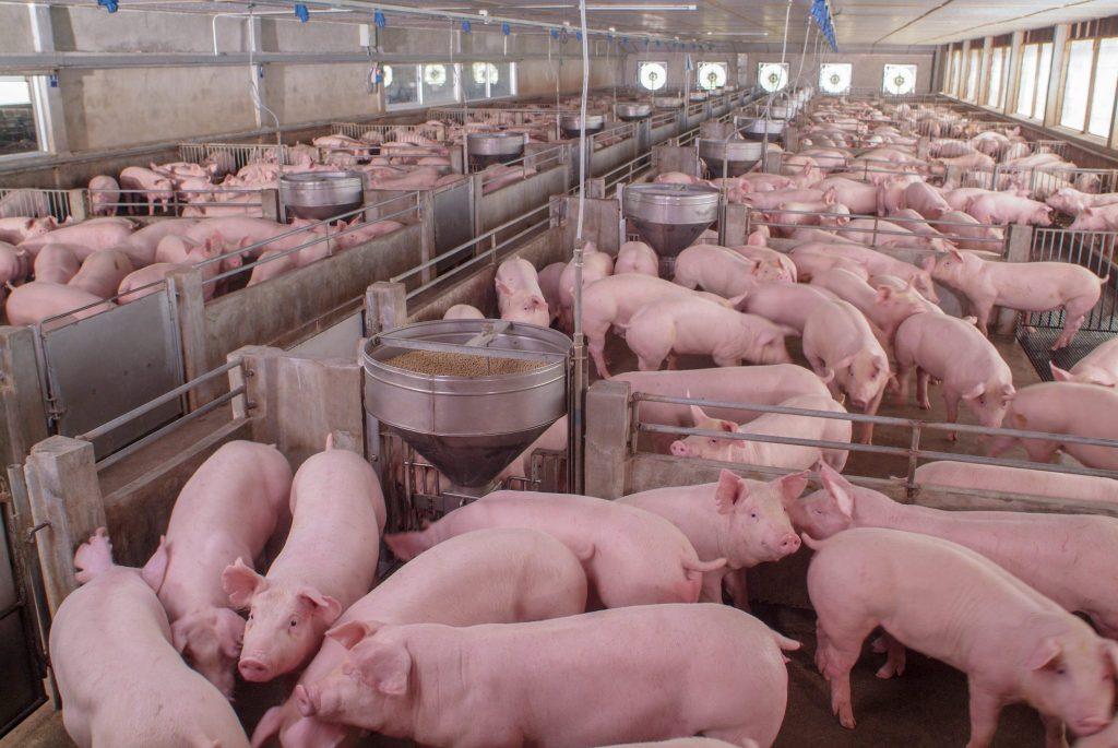 Massentierhaltung und Billigfleisch