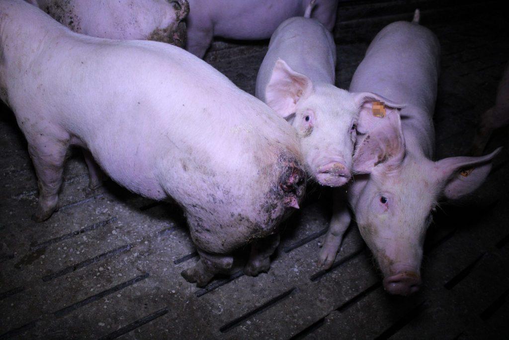 schweinehaltung auf vollspaltenboden