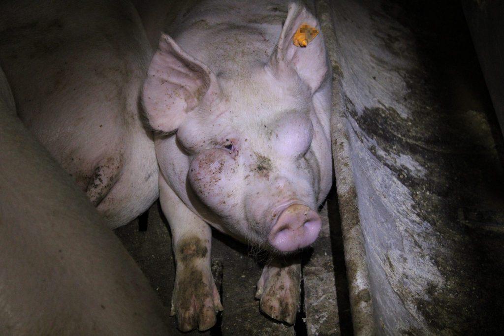 schweine in oesterreich: schweinehaltung auf vollspaltenboden